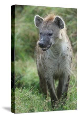 Close Up Portrait of a Spotted Hyena, Crocuta Crocuta, Snarling