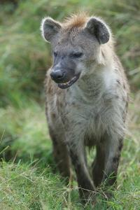 Close Up Portrait of a Spotted Hyena, Crocuta Crocuta, Snarling by Bob Smith