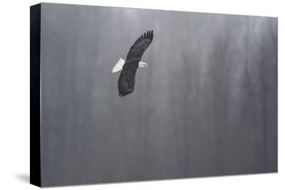 Portrait of a Bald Eagle, Haliaeetus Leucocephalus, in Flight