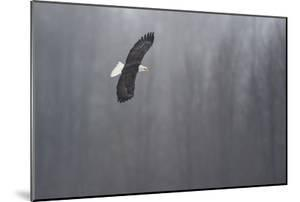 Portrait of a Bald Eagle, Haliaeetus Leucocephalus, in Flight by Bob Smith