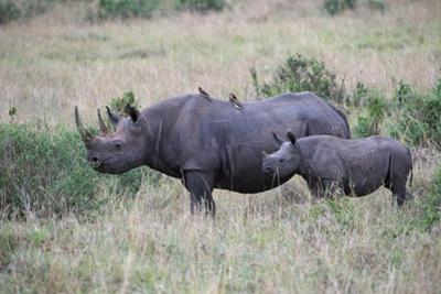 Portrait of a Rhinoceros and Her Calf in a Grassland. Oxpeckers are on the Mother's Back by Bob Smith