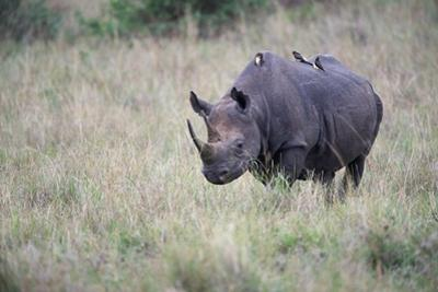 Portrait of a Rhinoceros with Oxpeckers on its Back by Bob Smith