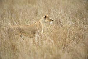 Portrait of a Well-Camouflaged Lioness, Panthera Leo, in Tall Grass by Bob Smith