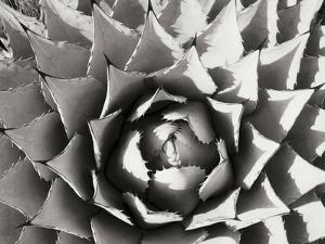 Agave I by Bob Stefko