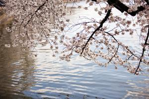 Cherry Blossoms I by Bob Stefko