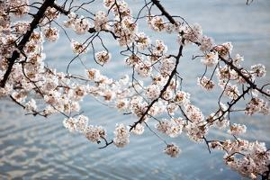 Cherry Blossoms II by Bob Stefko