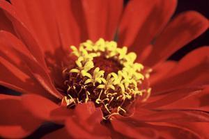 Red Zinnia I by Bob Stefko