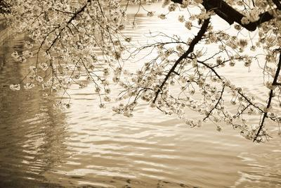 Sepia Cherry Blossoms I