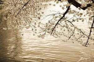 Sepia Cherry Blossoms I by Bob Stefko
