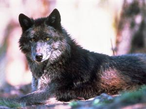 Eastern Timber Wolf (Canis Lupus) by Bob Winsett
