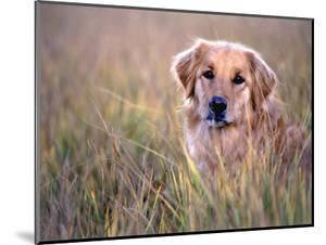 Golden Retriever in Field, Summit County, CO by Bob Winsett