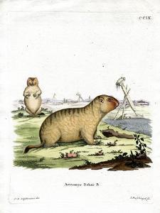 Bobac Marmot