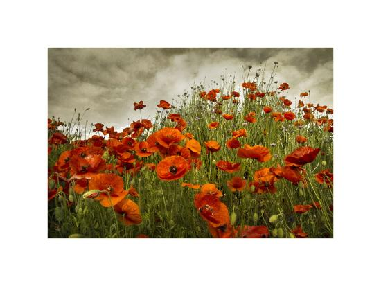 Bobbi's Poppies-David Winston-Giclee Print