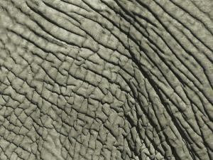A Close View of an African Elephants Skin by Bobby Model