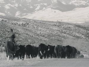 A Shot of Ranchers Pushing Cattle in December by Bobby Model