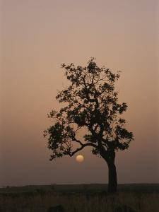 Baobab Tree (Adansonia Digitata) Silhouetted by the African Sunset by Bobby Model