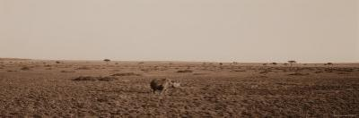 Black Rhinoceros on the Plains of Masai Mara National Reserve by Bobby Model