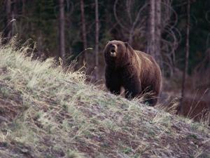 Grizzly Bear by Bobby Model