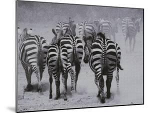 Zebras Kick up a Dust Storm as They Head out of the Area by Bobby Model
