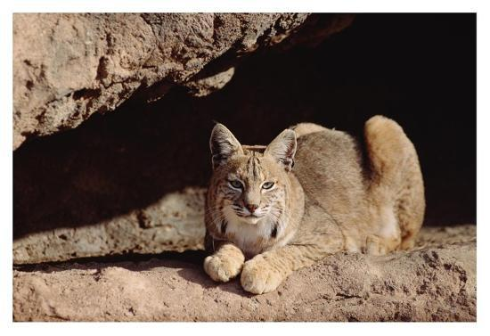 Bobcat adult resting on rock ledge, North America-Tim Fitzharris-Art Print