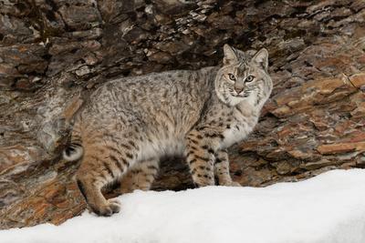 https://imgc.artprintimages.com/img/print/bobcat-in-snow-montana-lynx-rufus_u-l-q1d1slt0.jpg?p=0