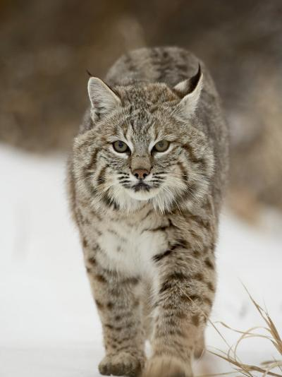 Bobcat in Snow, Near Bozeman, Montana, United States of America, North America-James Hager-Photographic Print