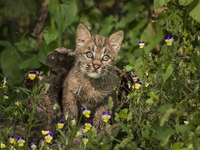 Bobcat Kitten in Wildflowers-Galloimages Online-Photographic Print