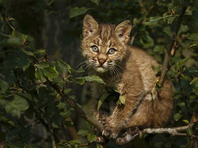 Bobcat Kitten on Branch-Galloimages Online-Photographic Print