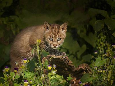 Bobcat Kitten Poses on Log-Galloimages Online-Photographic Print