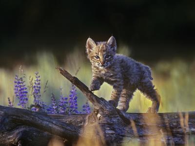 Bobcat Kitten Walking on a Fallen Log, Montana, Usa-Tim Fitzharris-Photographic Print