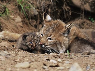 Bobcat (Lynx Nufus) Mother with 21 Day Old Kittens, in Captivity, Sandstone, Minnesota, USA-James Hager-Photographic Print