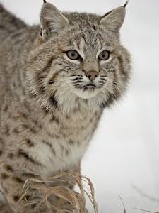 Bobcat (Lynx Rufus) in Snow in Captivity, Near Bozeman, Montana