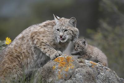 Bobcat Mother with its Kitten, Montana, Usa-Tim Fitzharris-Photographic Print