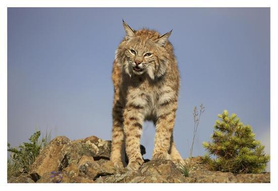 Bobcat , North America-Tim Fitzharris-Art Print