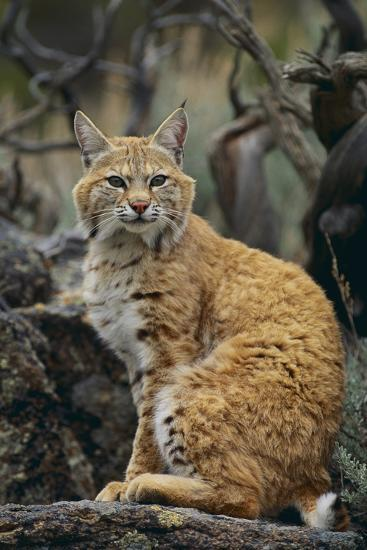 Bobcat on Rocks-DLILLC-Photographic Print