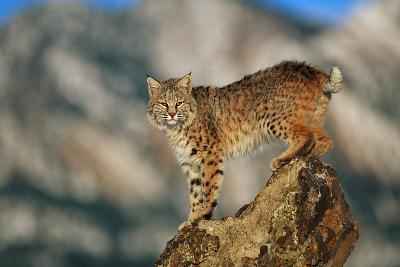 Bobcat Perched on Rock-DLILLC-Photographic Print