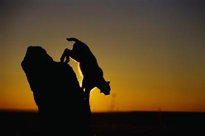 Bobcat Silhouette at Sunrise-W^ Perry Conway-Photographic Print