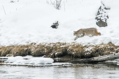 Bobcat Stalking a Muskrat-Rob Tilley-Photographic Print