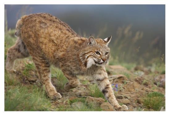 Bobcat stalking, North America-Tim Fitzharris-Art Print