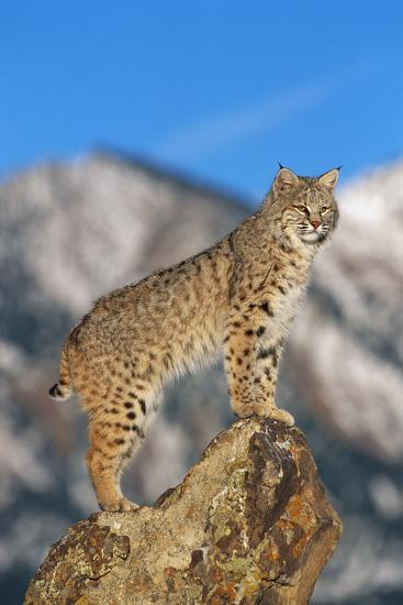 Bobcat Standing on Boulder-DLILLC-Photographic Print