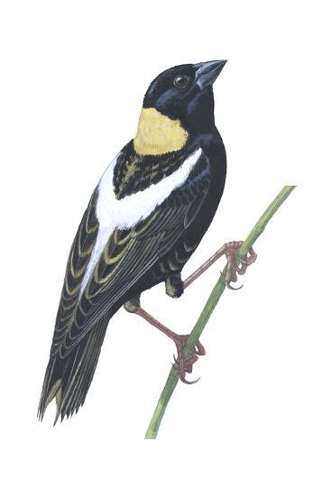 Bobolink (Dolichonyx Oryzivorus), Birds-Encyclopaedia Britannica-Art Print