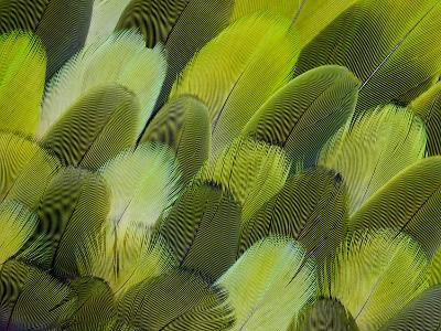 Body Feather Fan Design of the Amazon Parrot-Darrell Gulin-Photographic Print
