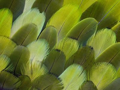 https://imgc.artprintimages.com/img/print/body-feather-fan-design-of-the-amazon-parrot_u-l-q12t4ch0.jpg?p=0