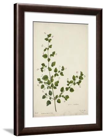 Boerhaavia Repanda Willd, 1800-10--Framed Giclee Print