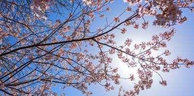 Sakura Blossom, Japan