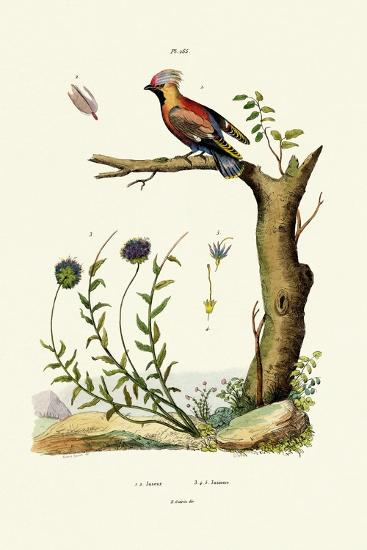Bohemian Waxwing, 1833-39--Giclee Print
