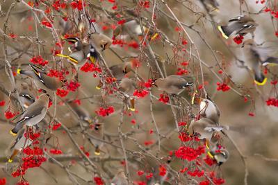 https://imgc.artprintimages.com/img/print/bohemian-waxwings-feeding-on-mountain-ash-berries-montana-usa_u-l-pn6kfu0.jpg?p=0