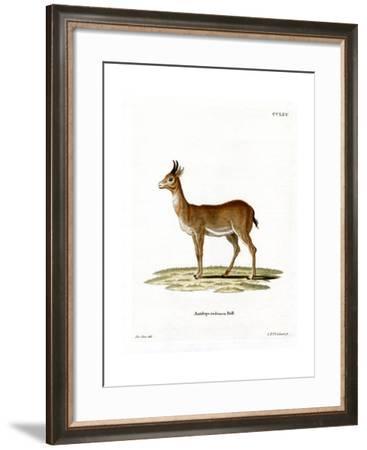 Bohor Reedbuck--Framed Giclee Print