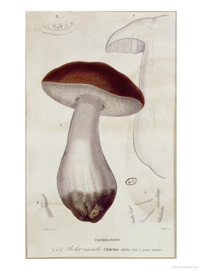 Boletus Edulis, Illustration For an Edition of Traite Des Champignons by Jean Jacques Paulet-Paul Louis Oudart-Giclee Print