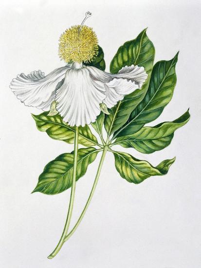 Bombacaceae or Malvaceae Flowers and Leaves of Baobab Adansonia--Giclee Print